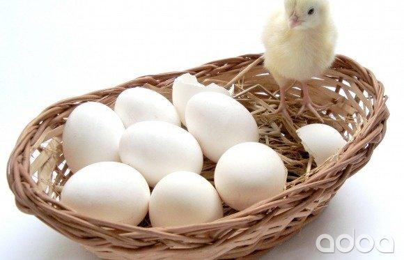 яйцо бройлера